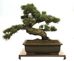 Nghệ thuật tạo dáng cây Bonsai