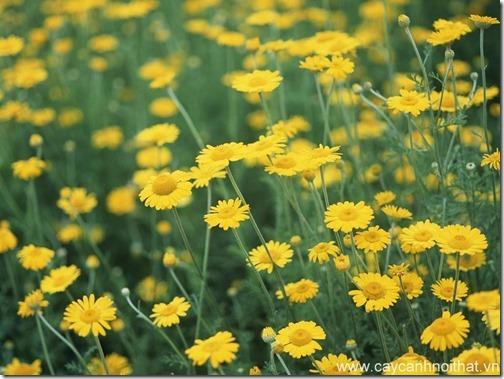 hoa cây cảnh cúc