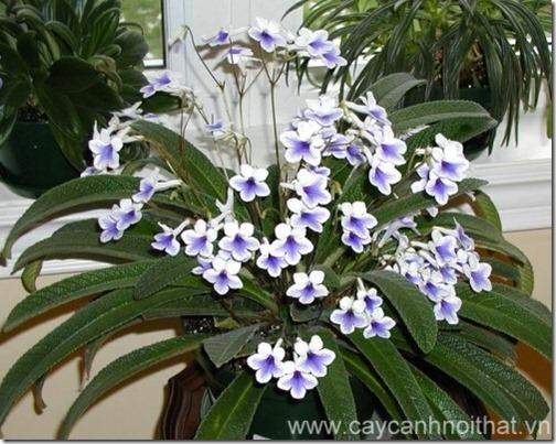 hoa cây cảnh Streptocarpus