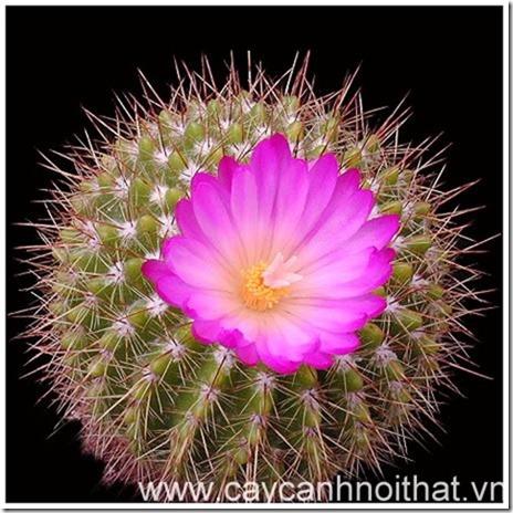hoa cây cảnh xương rồng
