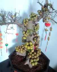 Mẹo hay khi nhân trồng và chăm sóc cây sung cảnh