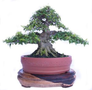 Nghệ thuậ tạo dáng cây bonsai