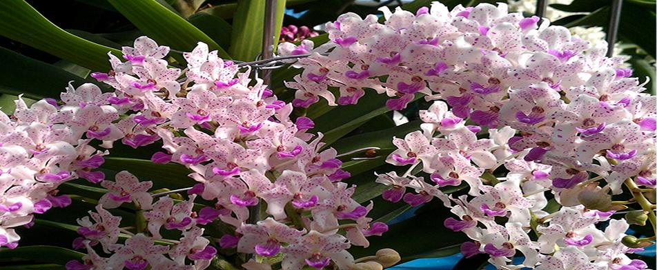 hoa lan rung